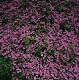 The Dirty Gardener Saponaria Ocymoides Trailing Soapwort, 100 Seeds/275 Milligrams