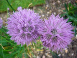 Allium Schoenoprasum Chives - 500 Seeds