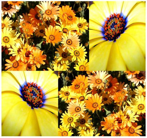 The Dirty Gardener African Daisy Flowers, 1,000 Seeds