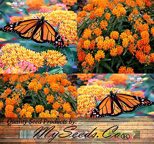 The Dirty Gardener Asclepias Tuberosa Butterfly Milkweed Flowers, 30+ Seeds