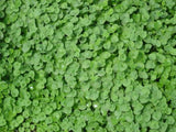The Dirty Gardener Dichondra Repens Seeds - 10 Pounds