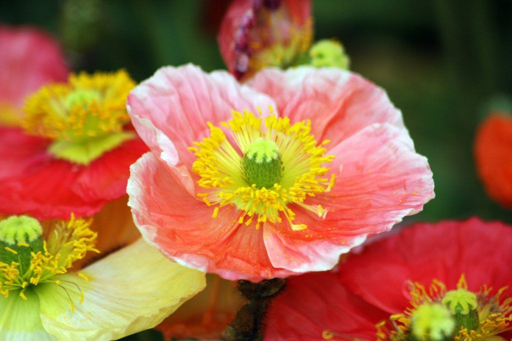 The Dirty Gardener Iceland Perennial Poppies, 20 Seeds