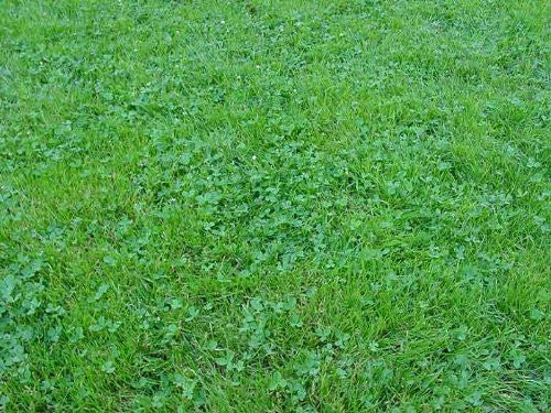 Ecology Lawn Seed- 10# Low Grow- No Mowing From The Dirty Gardener