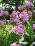 The Dirty Gardener Saponaria Officinalis Bouncing Bet Soapwort Flowers - 350+ Seeds