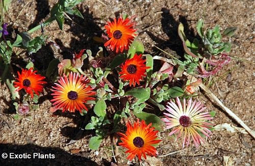 The Dirty Gardener Dorotheanthus Bellidiformis Succulent, 10 Seeds