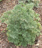Wormwood Shrubs - 100 Seeds