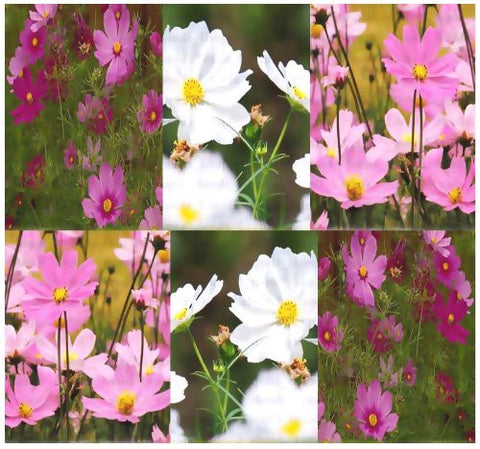 Cosmos Bipinnatus Flower Seed 8 Oz, Sensation Mix From The Dirty Gardener