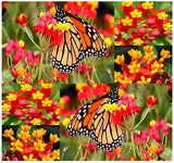 The Dirty Gardener Asclepias Curassavica Bloodflower Tropical Milkweed Flowers - 200 Seeds