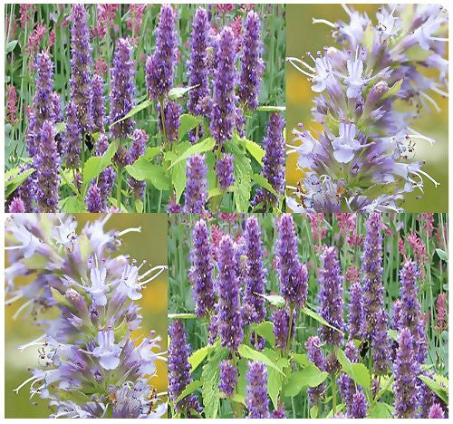 Anise Hyssop Lavender Licorice Mint Herb - 1,600 Seeds