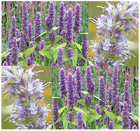 Anise Hyssop Lavender Licorice Mint Herb - 400 Seeds