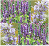 The Dirty Gardener Anise Hyssop Lavender Licorice Mint Herb, 400 Seeds