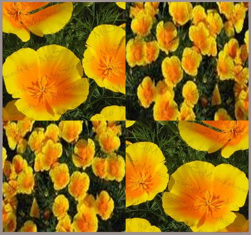The Dirty Gardener Eschscholzia Californica Maritima California Poppy Flowers, 79,000 Seeds/4 Ounces