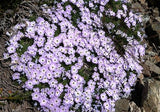 The Dirty Gardener Mountain Phlox Mix, 1,000,000 Seeds