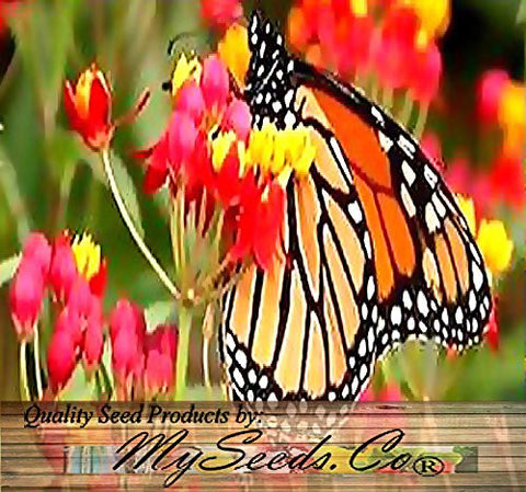 Asclepias Curassavica Bloodflower Tropical Milkweed Flowers - 50 Seeds