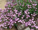 The Dirty Gardener Saponaria Ocymoides Rock Soapwort Flowers