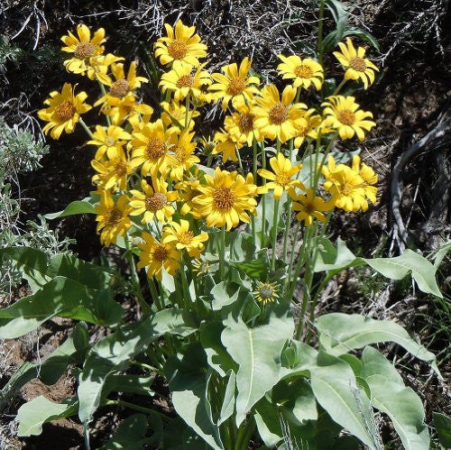 The Dirty Gardener Balsamorhiza Sagittata Arrowleaf Balsamroot, 125 Seeds