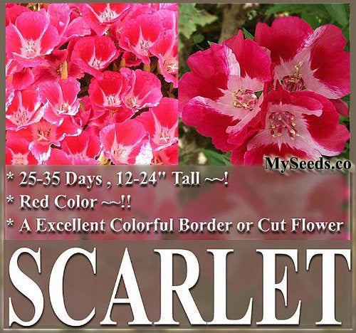 The Dirty Gardener Clarkia Godetia Dwarf Scarlet Flowers, 1 Pound