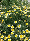 Chrysanthemum Coronarium Edible Garland Daisy Flowers, 100 Seeds