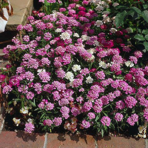 Iberis Umbellata Dwarf Candytuft Flower Mix - 2,000 Seeds