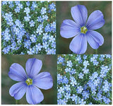 The Dirty Gardener Lewis Flax Flowers, 19,000+ Seeds/1 Ounce