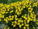 The Dirty Gardener Oenothera Hookeri Yellow Evening Primrose Flowers, 1,000 Seeds