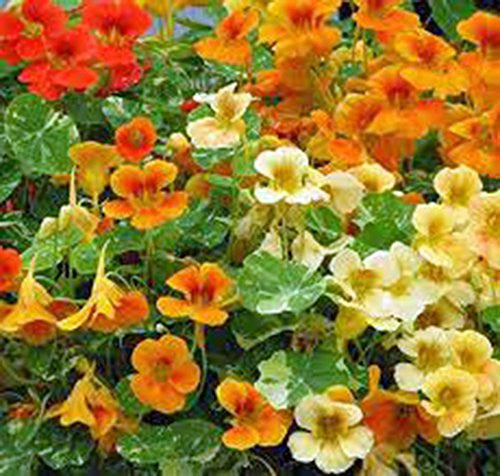 The Dirty Gardener Organic Dwarf Nasturtium Jewel Mix, 25+ Seeds