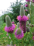 The Dirty Gardener Heirloom Prairie Clover Wildflowers, 15 Seeds