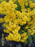 The Dirty Gardener Yellow Alyssum Saxatile Golden Tuft Flowers, 100 Seeds