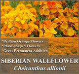 1 Full Pound of Siberian Wallflower Seeds - The Dirty Gardener