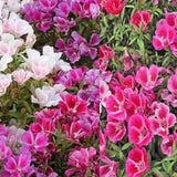 1 LB. Clarkia Godetia Flower Seed - The Dirty Gardener