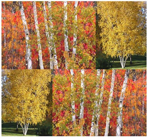 Betula Papyrifera Paper Birch Trees - 40 Seeds