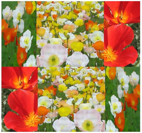 The Dirty Gardener Papaver Nudicaule Iceland Poppy Flowers - 3000 Seeds