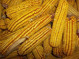 25 Pounds of Bulk Reids Yellow Dent Corn From The Dirty Gardener - The Dirty Gardener