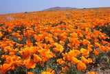 Eschscholzia Californica California Orange Poppy - 1,000 Seeds