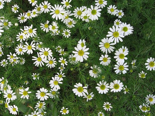 Heirloom Organic Anthemis Nobilis Roman Chamomile, 100 Seeds