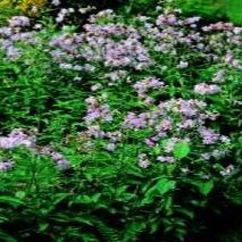 The Dirty Gardener Soapwort Wildflower Seeds - 250 Seeds