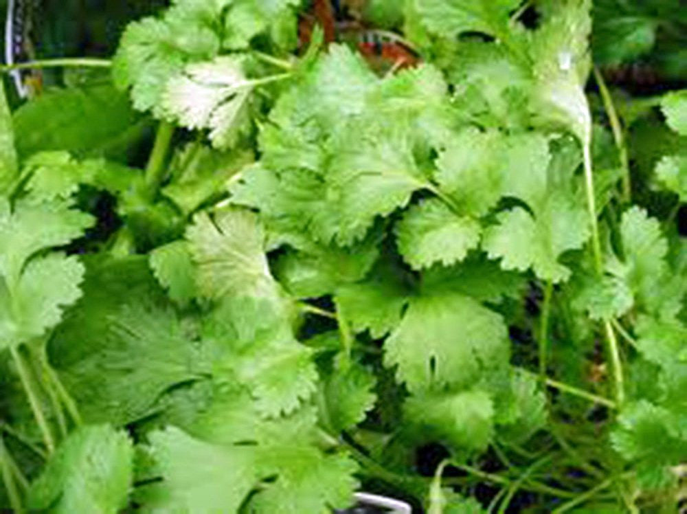 The Dirty Gardener Heirloom Organic Cilantro Herb, 25+ Seeds