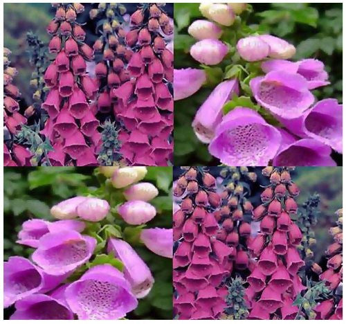 The Dirty Gardener Digitalis Purpurea Foxglove Mix - 300 Seeds/1 Ounce