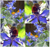Borago Officinalis Blue Star Borage Edible Flowers, 100 Seeds