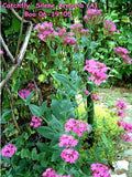 The Dirty Gardener Silene Armeria Tall Catchfly Flowers - 1,000 Seeds