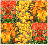 The Dirty Gardener English Wallflower Flowers, 17,000 Seeds/1 Ounce