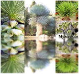 The Dirty Gardener Yucca Species Mix, 15 Seeds