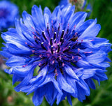 The Dirty Gardener Heirloom Centaurea Cyanus Cornflower Bachelors Button Flowers, 1,000 Seeds