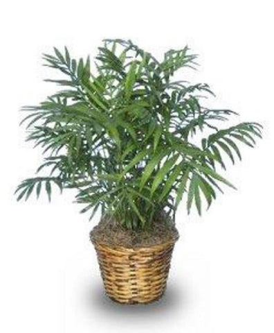 The Dirty Gardener Chamaedorea Elegans Parlor Palm, 50+ Seeds
