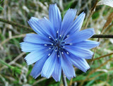Chicory Seeds - 5 Pounds