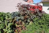The Dirty Gardener Heirloom Medicinal Castor Oil Plant