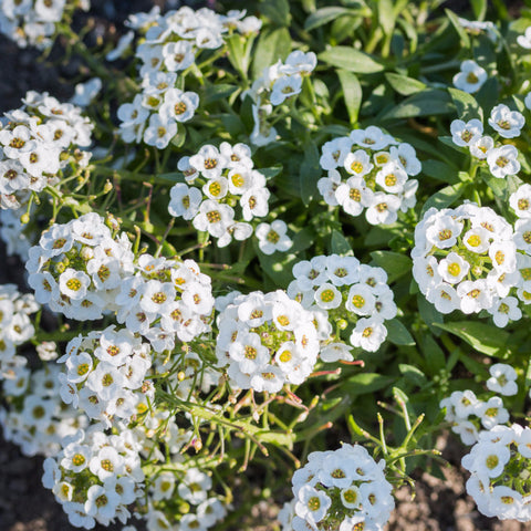 Alyssum (Lobularia maritima), Sweet Tall