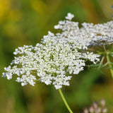 1 Lb Queen Anne's Lace (Ammi majus) Bulk Wildflower Seeds From The Dirty Gardener - The Dirty Gardener