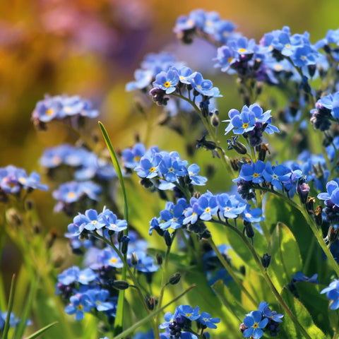 Chinese Forget Me Not (Cynoglossum Amabile))
