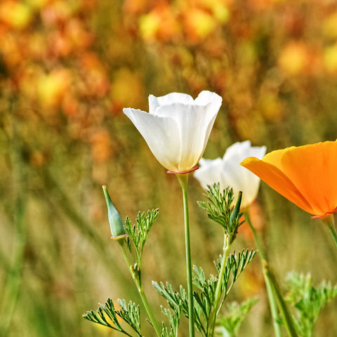 California Poppy, White Linen